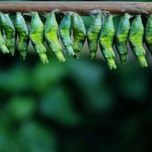 Lepke és pillangó bábok
